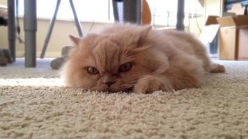 Macro gato persa relajándose en el piso