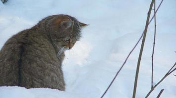 chat sauvage en hiver video