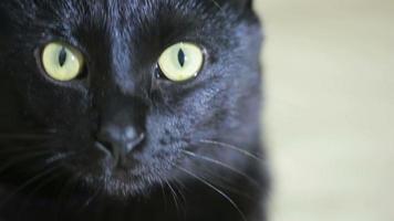 gatto nero da vicino