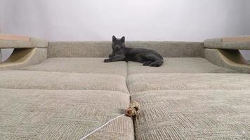 câmera lenta de gato doméstico mostrando instinto de caça brincando com rato de brinquedo