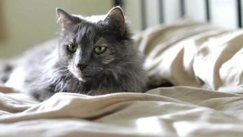 gato cinza deitado na cama video