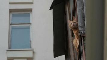 gato ruivo olhando pela janela
