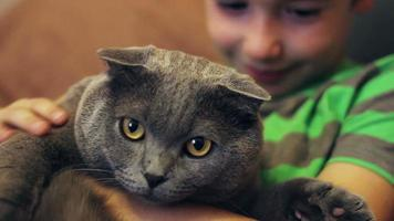 Boy stroking and caressing a large gray  cat British breed video