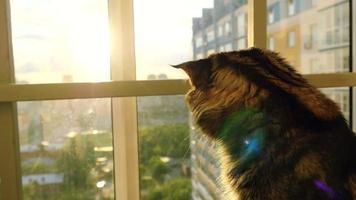 schöne Maine Coon Katze sitzt auf dem Fenster Uhr Sonnenuntergang