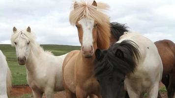 cavalos de olhos azuis da Islândia video