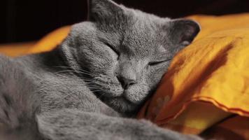 British gray cat sleeps video