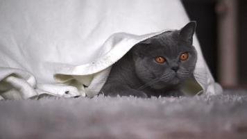 Beautiful cat under a blanket