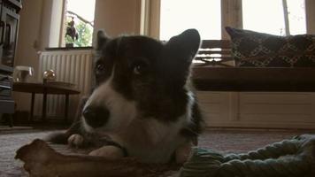 Corgi galés tendido en la alfombra