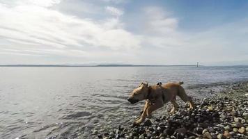 cucciolo marrone che corre allegramente sulla spiaggia