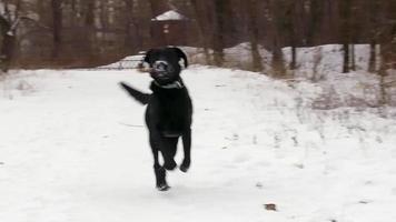 schwarzer Labrador Hund läuft in Zeitlupe
