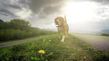 une vidéo au ralenti: beagle explorant de nouveaux terrains grâce à la capacité de renifler