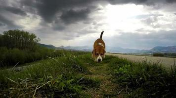beagle à la chasse: renifler une proie