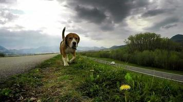 Purebred British beagle shiffing for prey while walking without a lead video