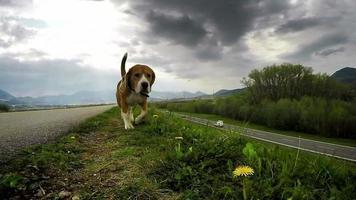 beagle britânico de raça pura mudando de posição para a presa enquanto caminhava sem guia