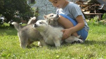 un lindo niño sostiene a unos cachorros de husky y luego se escapan en el césped video
