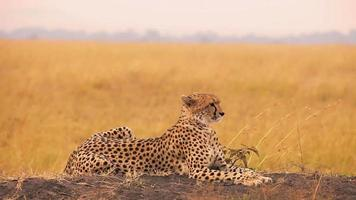 männlicher Gepard in Masai Mara