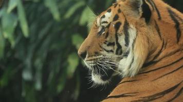 Tiger resting. video