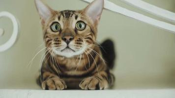 gato de bengala sentado frente a la cámara