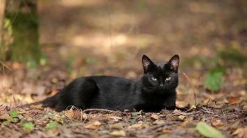 joven gato negro está descansando en el bosque video