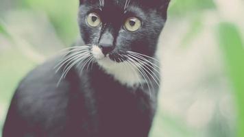 El gato intelegente negro está interesado en sí mismo.
