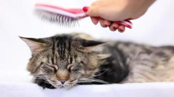 Woman combing fur of a Maine Coon cat video