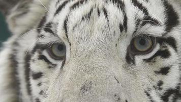 cara de tigre de bengala blanco de cerca video