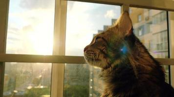 Hermoso gato maine coon sentado en la ventana ver el atardecer