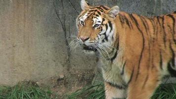 tigre andando e assistindo