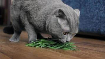 Young gray cat eats the grass at home