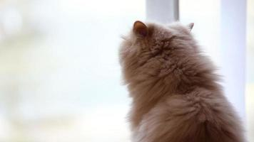 Close up persian cat looking outside view of window video