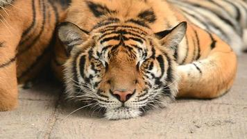 tigre dormindo video