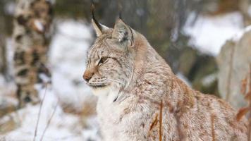 Proud lynx sitting in the forest video