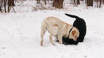 due cani labrador che giocano insieme al rallentatore