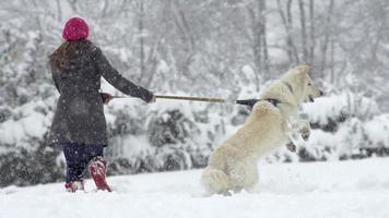 Zeitlupe: Weißer Schweizer Schäferhund bellt auf dem Weg