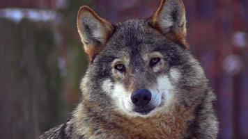 lobos se movem por uma área florestal no inverno video
