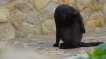 gato preto lava as patas com a linguagem.