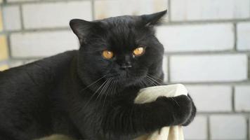 gato preto britânico sentado na varanda