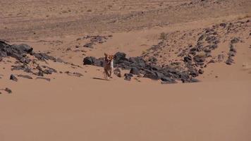 cane di razza che si chiede nel deserto del sahara video