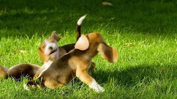 felizes cães beagle no parque. câmera lenta