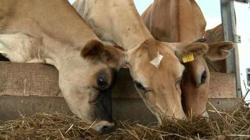 vacche da latte video