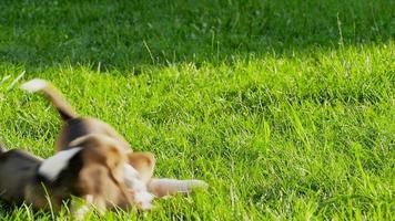 zeigen Hund der Rasse des Beagles auf einem natürlichen grünen Hintergrund, der mit Spielzeug spielt