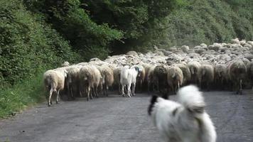 herdershonden die schaapskudde volgen