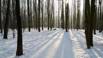 Winter forest, lit by the sun, dog runs