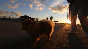 cane pomeranian che cammina al guinzaglio