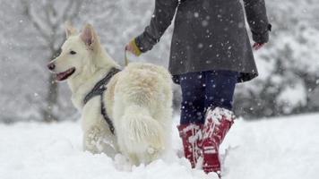 slow-mo: vista posteriore del cane da pastore svizzero bianco guardando indietro
