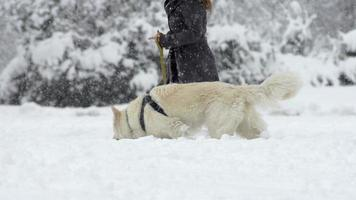 câmera lenta: cão pastor branco andando enquanto está nevando video