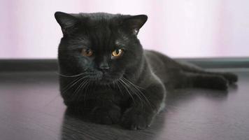 gato preto britânico com olhos laranja procurando um brinquedo