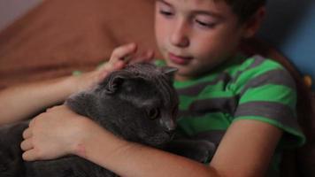 menino acariciando e acariciando um grande gato cinza de raça britânica video