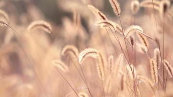 herbe de queue de chien au soleil de l'automne