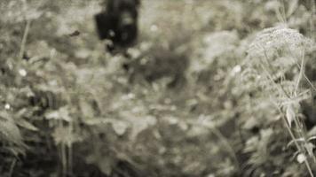 labrador negro en el bosque.